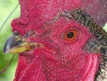 A new type of vaccine: New H5N1 vaccine trial. photo credit; WikiMedia,