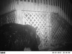 Black bear Caught on Motion Activated Camera