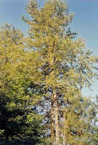 Black cottonwood: Courtesy Oak Point Nursery