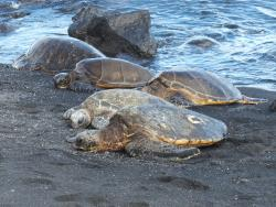 Green sea turtles on Hawaii's Black Sand Beach