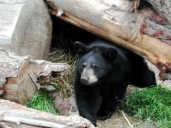 Snooze and lose?: A famous black bear (not this one pictured, however) in northern Minnesota may be sorry it chose a local cabin as a place to hibernate this winter. A controversy is now brewing as to if the bear is a nuisance bear and needs to be killed.