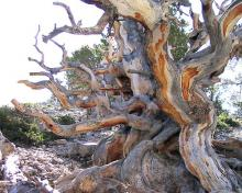 Bristlecone pine: photo by Art Oglesby