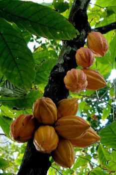Cacao on a tree: Pods full of cacao beans grow on a tree in a tropical environment.