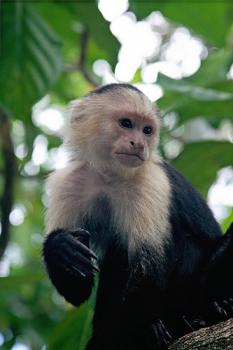 Sizing up the competition: Capuchin monkeys can be trained to use money, and react to it in surprisingly humanlike ways.