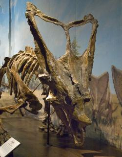 Chasmosaurus belli: An adult specimen on display at the Royal Tyrrell Museum in Drumheller, Alberta.