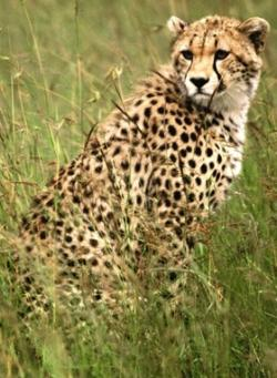 Can you beat me?: Think you can outrun a cheetah? Find out how fast they are.