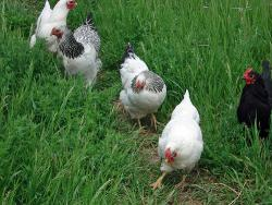 Chickens discover America: New evidence indicates that Pacific Islanders brought chickens to Chile 100 years before Columbus.  Photo from Flickr.com by 2-Dog-Farm.