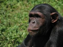 Looking for love: According to new research, male chimps prefer older females over young females when they're looking for a partner to mate with. That's actually not so surprising, as in many other mammal species females reach their peak in fertility at middle age.