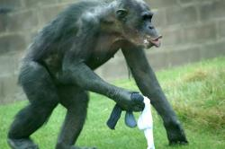 A confined chimp working things out in his head: Should we be worried?