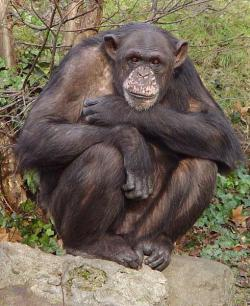 Meet up or meat up?: A study of chimps in Africa has found that males who share meat they've hunted with females have twice as great a chance of breeding with that female.