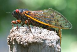 Talk about bug-ugly!: The 17-year cicada. Photo by ac4lt  from Flickr.com.