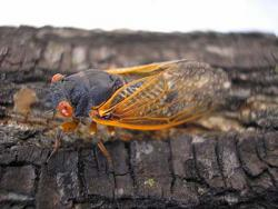 A 17-year cicada, resting on a tree in Elmhurst, Illinois: June 17, 2007. Photo by Eugene Dillenburg