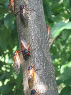 Cicada invasion: Photo by Happy Monkey at Flickr.com.
