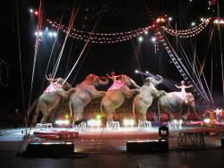 The last stand?: Elephants and their riders strike a pose at the Ringling Brothers Barnum and Bailey Circus at the Alamodome in San Antonio, Texas, recently. Some cities, like Minneapolis, are considering banning wild animals from circus performances (Flickr photo by Edith Frost)