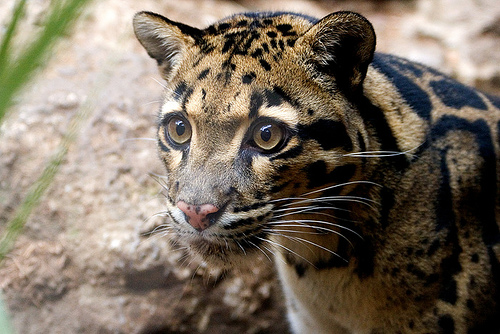 Bornean Clouded Leopard Teeth Clouded leopard Photo by
