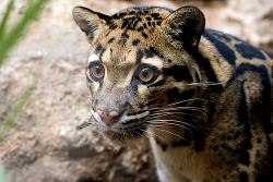 Clouded leopard: Photo by fuzuoko