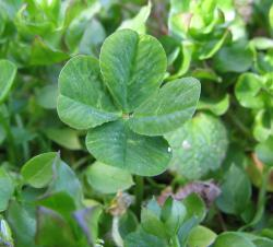 A four-leafed clover: Imagine five four-leafed clovers, and one one-leafed clover, and you've got the idea. Or just click on the link and see an actual photo.
