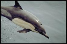 A pod of dolphins is trapped on Long Island: Photo NOAA.