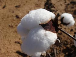 Cotton for filters
