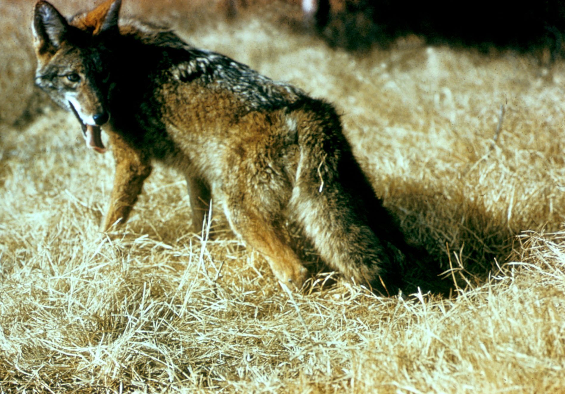 coyote | Science Buzz