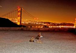 I left my coyote in San Francisco: More and more coyotes are finding urban areas a great place to live. Food is abundant be it from small animals living in parks and golf courses, people's garbage or unsuspecting pet animals.