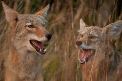 Are coyotes the culprits?: Or are the Cuero creatures something different entirely?