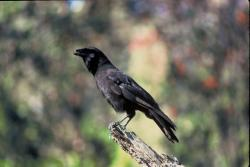 Tooling around: A study being conducted in New Caledonia has video footage of crows using twigs and grass to make tools to gather and process their food. (Photo courtesy of the U.S. Fish and Wildlife Service)