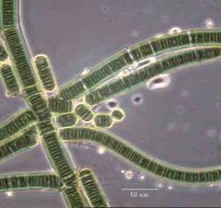 Cyanobacteria: Could cells like these have been found in space rocks?