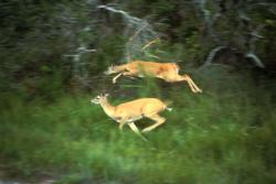 High fliers: These white tails in action show how fast and fleet deer can be out in the forests.
