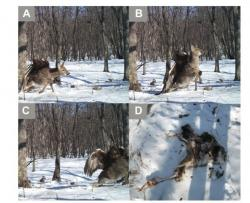 Going down: A golden eagle was captured on camera attacking a deer in Russia.
