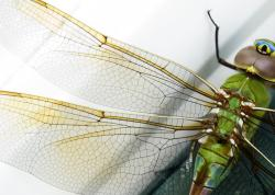 Dragonfly wing: Its structure is aiding wind-power researchers