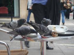 Pigeons find food easily in the city: The readily available food in an urban environment allows pigeons to breed year-round.  Photo courtesy Photo courtesy sarmoung via Flickr.