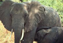 Mirror image: Researchers have found out that elephants can recognize themselves in a mirror and actually look at parts of their body that they can't see on their own. Those are sure signs that that have a self-awareness, something that used to be thought of only being in humans and chimps. (Photo from the U.S. Fish and Wildlife Service)