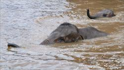 Elephants swimming at the Chester Zoo, 2004.