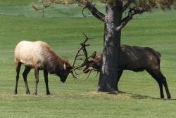 Antler wrestling: Two young bull elk compete in Estes Park, Colorado.