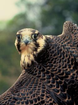 Peregrine Falcon: Peregrine Falcon.  Courtesy Craig Koppie, US Fish and Wildlife Service.