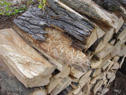 Use local firewood: Transporting firewood endangers ash trees