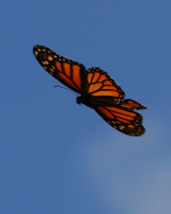 Monarch flying: Some monarch butterflies will travel thousands of miles in their short lives.