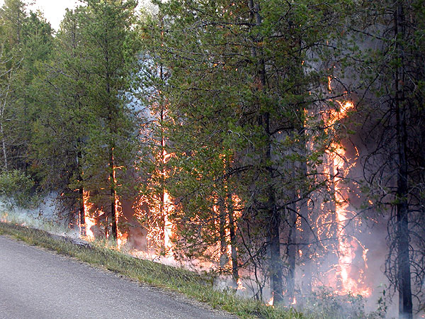 Rising from the ashes: Forest fires give way to new growth ...