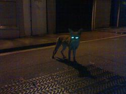 A night vision fox?: The perfect weapon.