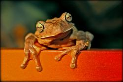 Sing me a song oh pianofrog: Researchers are finding the a species of frogs in China sing mating songs as duets at ultrasonic frequencies.