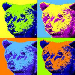 Rainbow coalition: Alaskan wildlife officials are using cheap hair dyes to color the fur of problem bears. Doing that, they think, will save many bears from being immediately killed from having negative interactions with humans. (Graphic from the Anchorage Daily News)