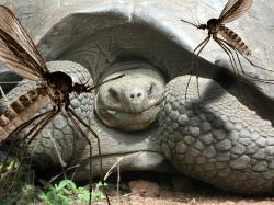 Giant tortoise under threat