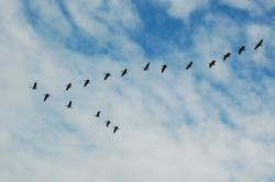 "Geese flying in a ""V"": Image courtesy Greg7 via Flickr."