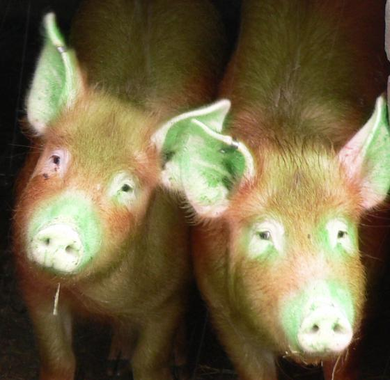 Glowing green pigs