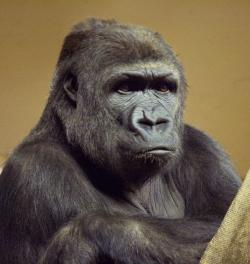 Disturbing science discovery no. 7: We're all apes. What else is new?
