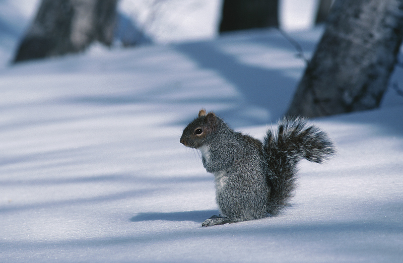 gray_squirrel_0.jpg