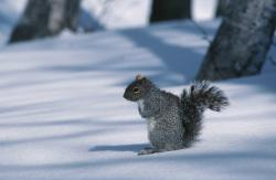 Grey squirrel: Are Buzzers in the south seeing gray squirrels with white ear tufts, or are they seeing fox squirrels? What are you seeing in your neighborhood?