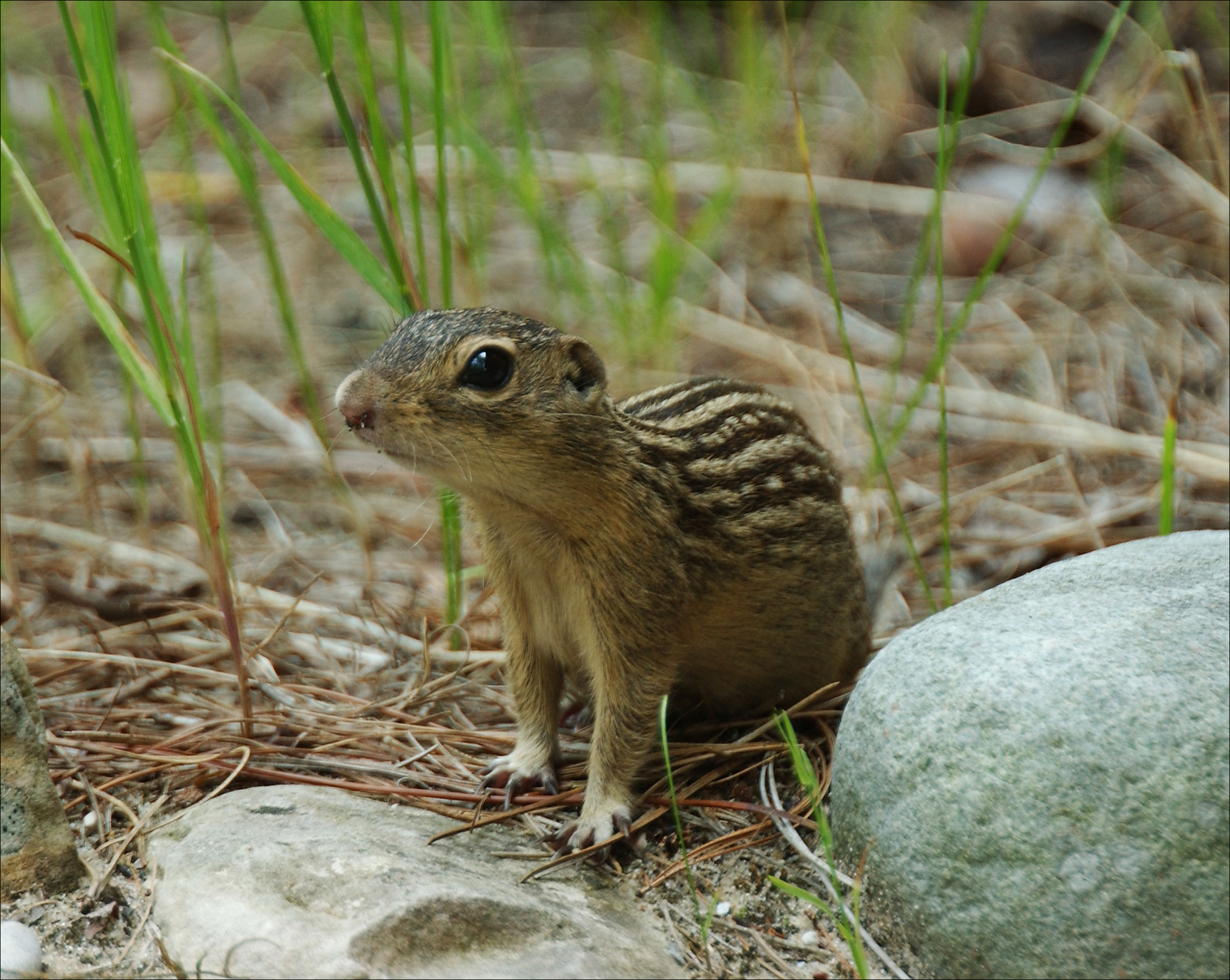 Thirteen-lined ground squirrel (Gopher)
