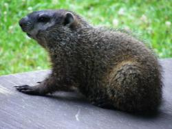 Groundhog (Marmota monax): aka woodchuck, land-beaver, and whistle-pig. Weather records show he probably couldn't predict his way out of a paper bag.